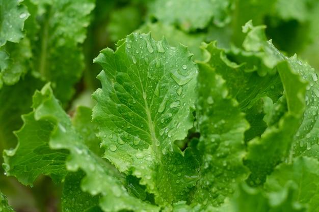 Hojas de lechuga eco fresca con gotas de agua