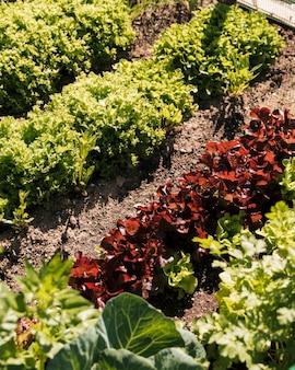 Hojas de lechuga verde en camas de jardín
