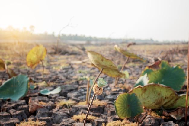 Hojas de lotus de seca con la luz del sol.