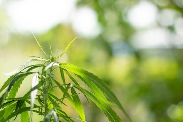 Hojas de marihuana y luz verde desenfoque.
