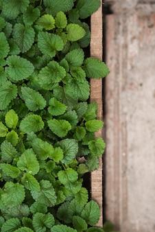 Hojas de menta de papel verde fresco en invernadero