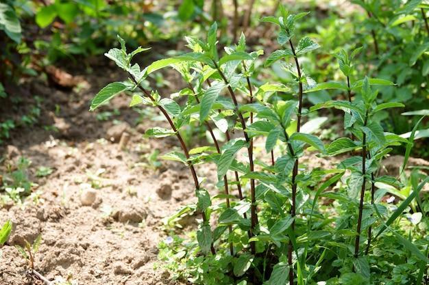 Hojas de menta verde brillante, primer plano en el jardín