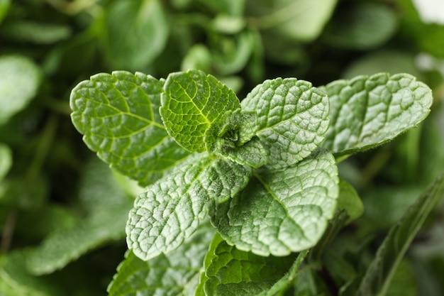 Hojas de menta verde fresca, de cerca