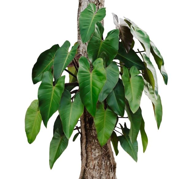 Hojas de monstera en árbol aislado sobre fondo blanco.