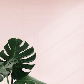 Hojas de monstera tropical sobre fondo rosa