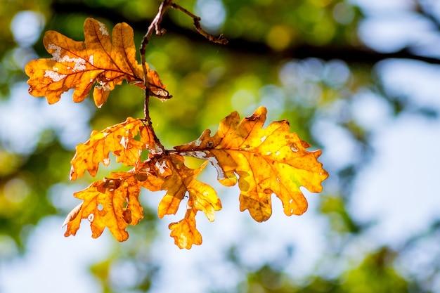 Hojas de naranja de roble en un árbol contra un sol brillante