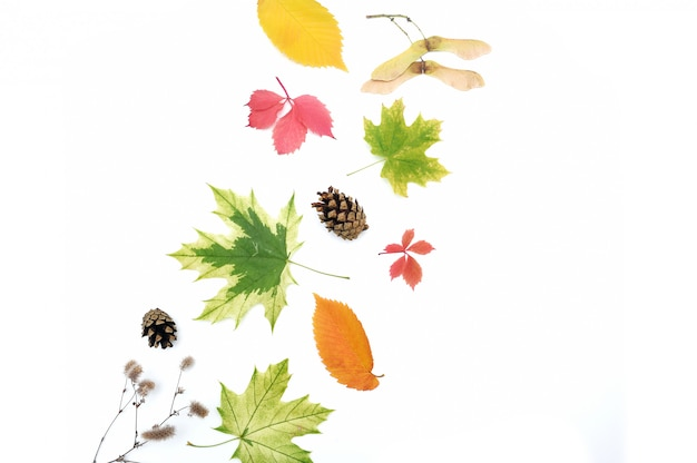 Hojas de otoño aisladas y conos en blanco