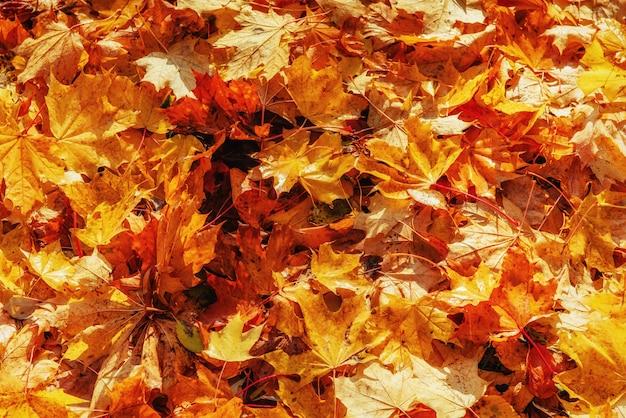 Hojas de otoño amarillas, anaranjadas y rojas en fondo de otoño