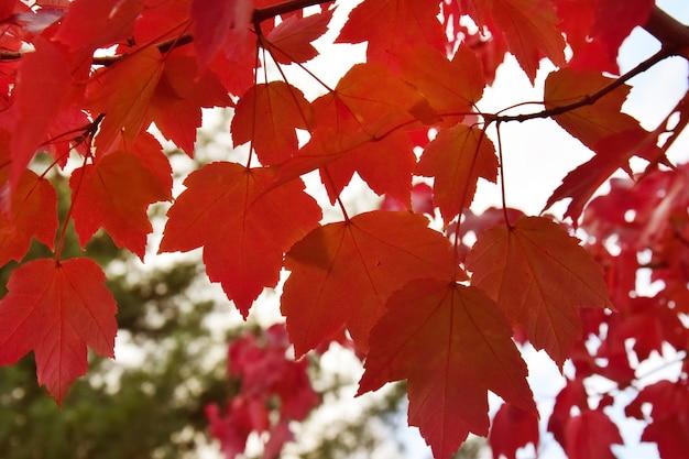 Hojas de otoño amarillas, rojas, naranjas en el parque