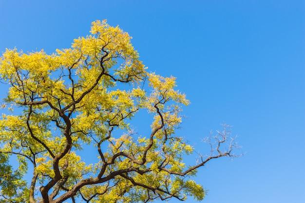 Hojas de otoño amarillas sobre fondo de cielo azul.