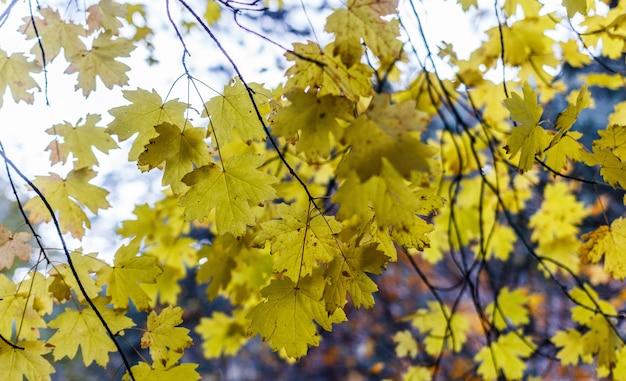 Hojas de otoño en un árbol en un bosque de montaña.