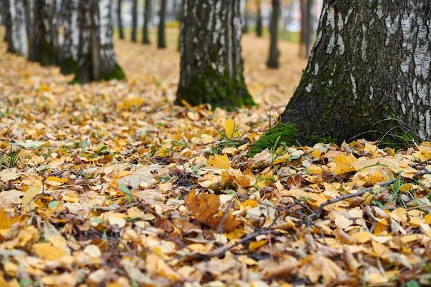 Hojas de otoño en el bosque de abedules. follaje caído colorido.