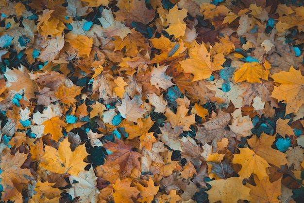 Hojas de otoño caidas