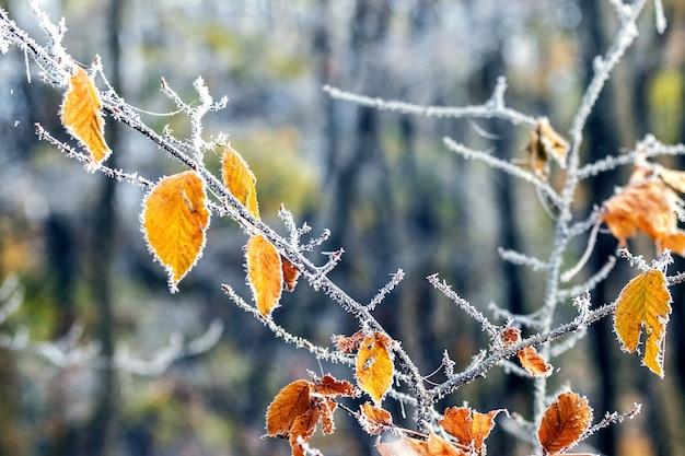 Hojas de otoño cubiertas de escarcha en el bosque sobre un fondo de árboles