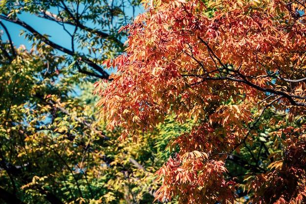 Hojas de otoño de fondo en japón