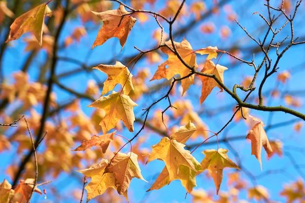 Hojas de otoño marrón y amarillo en las ramas de un árbol