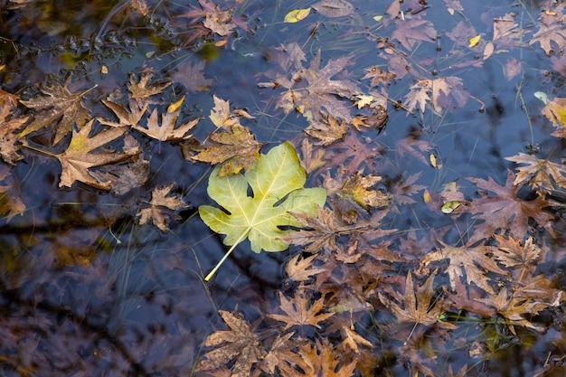 Hojas de otoño en el río