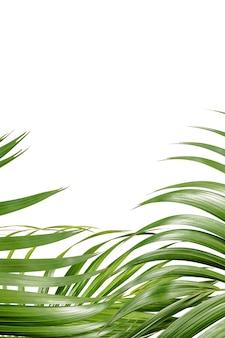 Hojas de palma verde sobre fondo blanco.