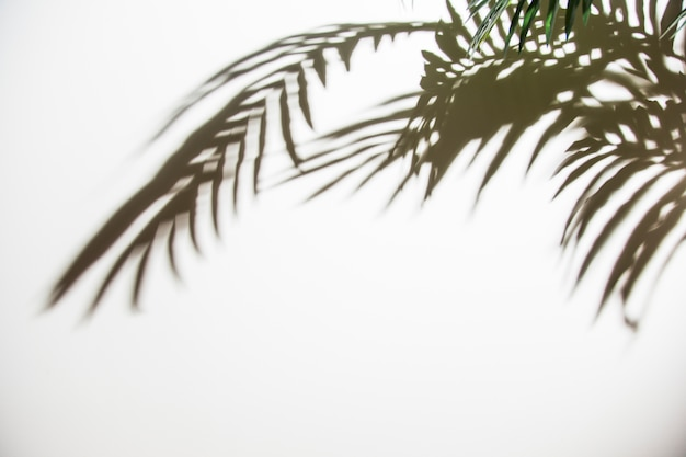 Hojas de palma verde con sombra sobre fondo blanco