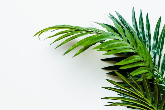 Hojas de palma verdes frescas aisladas en el fondo blanco