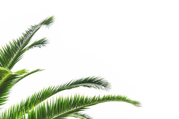 Hojas de palmera aisladas sobre fondo blanco