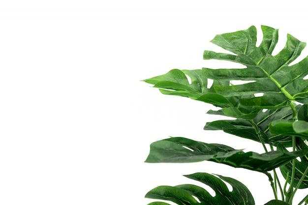 Hojas de palmera tropical monstera