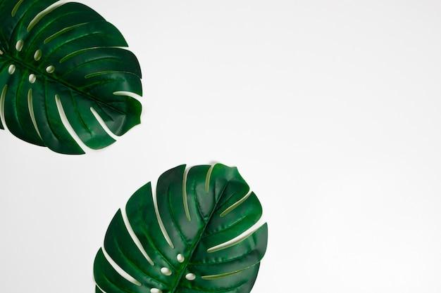 Hojas de palmeras tropicales monstera sobre fondo blanco. lay flat. concepto mínimo vista superior.