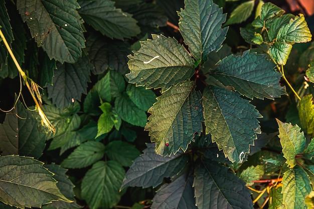 Hojas de parra verde en viñedo en primavera o verano agricultura verde jardín