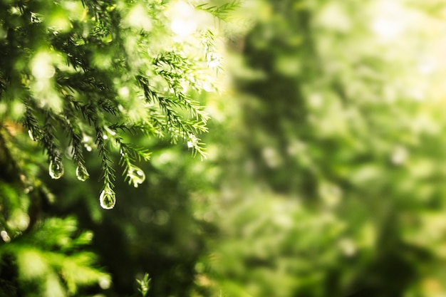 Hojas de pino verde con gotas de agua