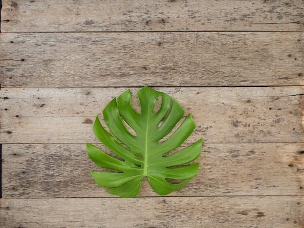 Hojas de la planta de monstera, enredaderas perennes tropicales aisladas en el fondo de madera viejo, vista desde arriba