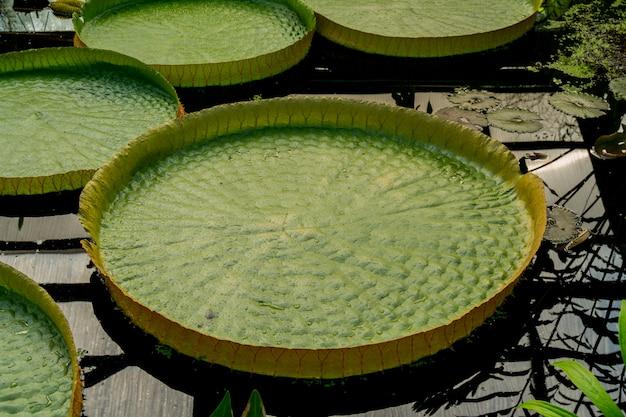Hojas de plantas acuáticas victoria.