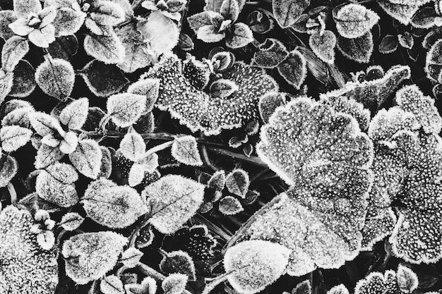 Hojas de plantas cubiertas de escarcha la vista desde la parte superior, una foto en blanco y negro