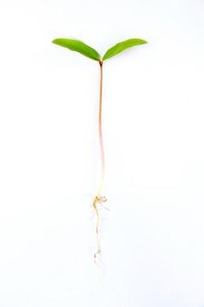 Hojas de plantas germinan sobre fondo blanco