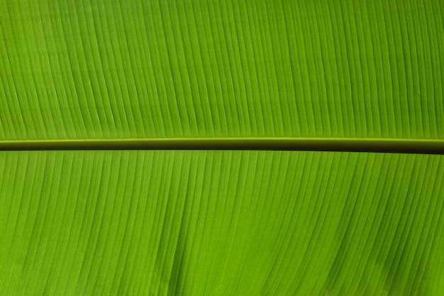 Las hojas del plátano verde hermoso cerca, textura