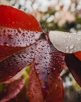 Hojas rojas con gotas de agua