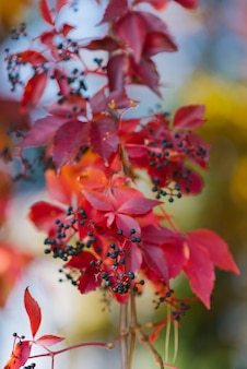 Hojas rojas de otoño de primer plano de uvas silvestres, enfoque selectivo