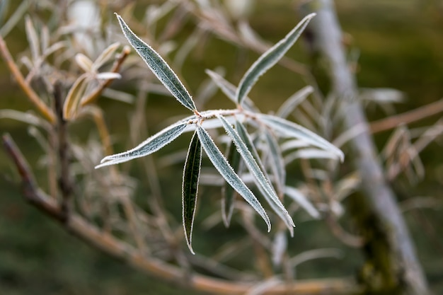 Hojas de sauce congeladas. fondo natural de otoño o invierno.