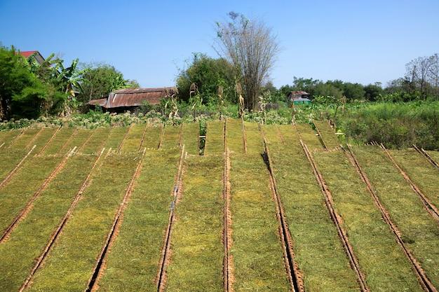 Las hojas de tabaco se cortan y secan camino del campo.