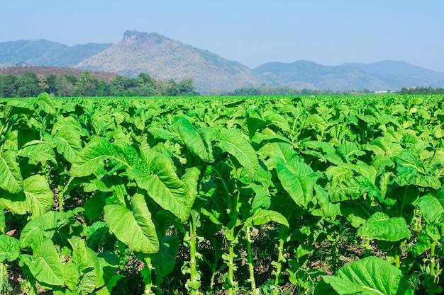 Hojas de tabaco crudo en granjas de tabaco