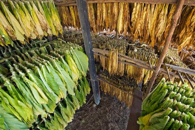Hojas de tabaco en la planta de secado