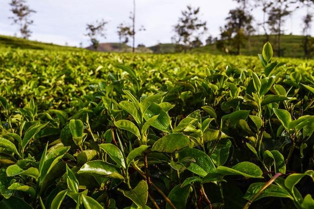 Hojas de té frescas en plantaciones