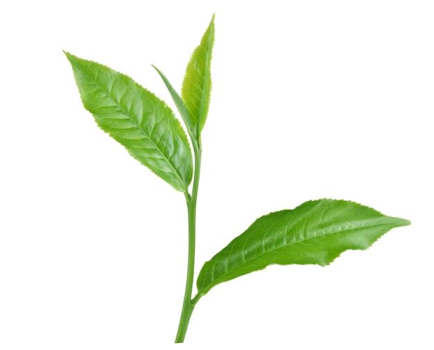 Hojas de té verde aisladas sobre fondo blanco.
