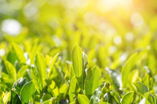 Hojas de té verde en una plantación de té