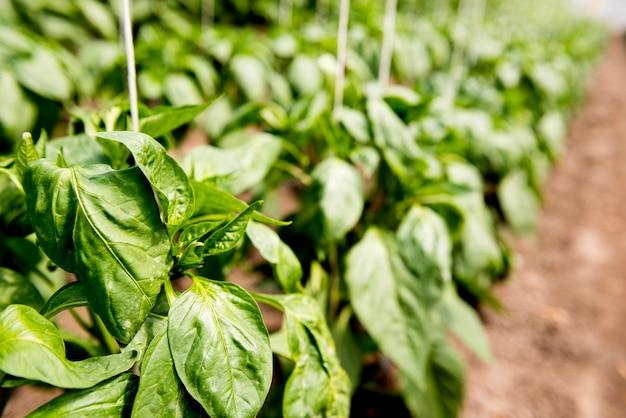 Hojas de vegetales en invernadero