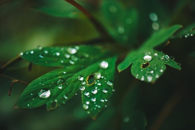 Hojas verde oscuro con gotas de rocío close-up con espacio de copia.