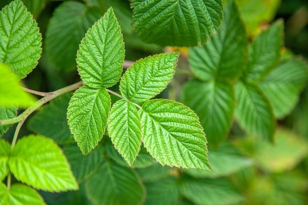 Hojas verdes de un arbusto de frambuesa en un día de verano
