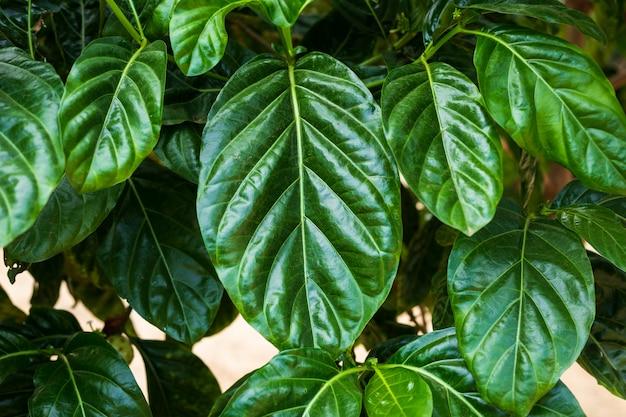 Hojas verdes del citrifolia de morinda en jardín de la naturaleza.
