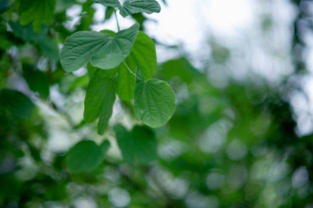 Las hojas verdes se encuentran en la zona verde en la temporada de lluvias.