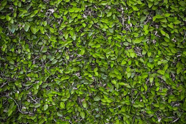 Hojas verdes. fondo natural