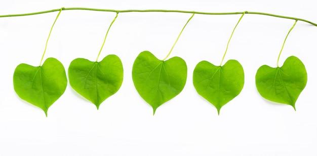 Hojas verdes en forma de corazón sobre fondo blanco.
